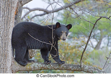 Black Bear Up a Tree - A young black bear that climbed up...