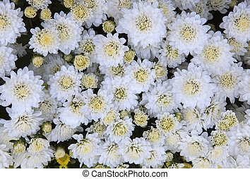 close up top view of White chrysanthemum flowers use as...