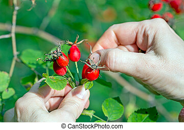 Gathering berries of wild rose. Rose Hips (Rosa rubiginosa)