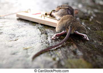 Mousetrap, High Risk, Bad Outcome - Mouse trapped in a...