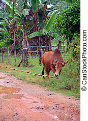 Thai people propel fighting bull go to field for eat grass...