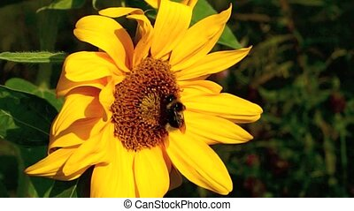 Bumblebee on Sunflower - Bumblebee on organic sunflower...