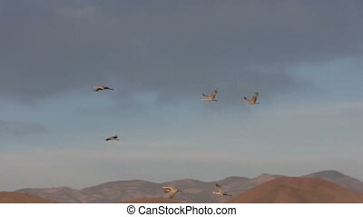 Sandhill Cranes in Flight - sandhill cranes taking off for...
