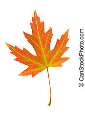 Orange leaf of Silver maple, Acer - Orange leaf of Silver...