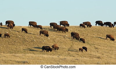 Herd of buffalo in Alberta, Canada. - Herd of buffalo also...