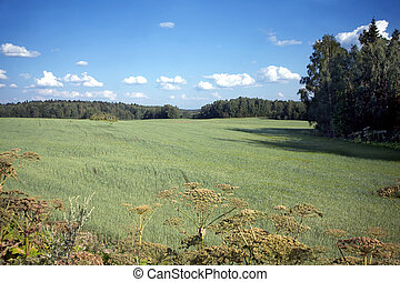 Rural summer landscape with a field
