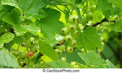 Close-up of green currants