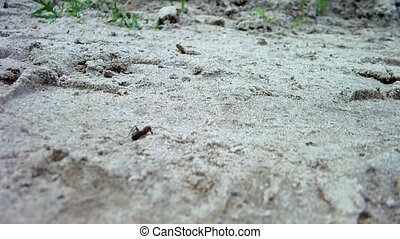 Red wood ant (Formica rufa)