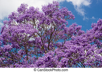 Jacaranda tree flowering