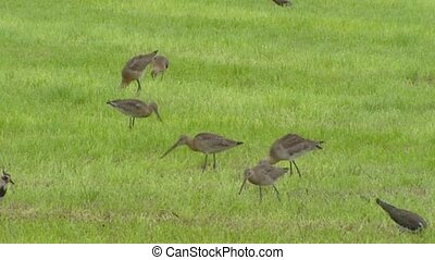 Black-tailed godwits (limosa limosa) foraging in grassland +...