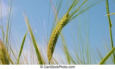 Close up of wheat. bread