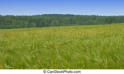 Green wheat at spring on field