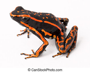 red striped poison arrow frog