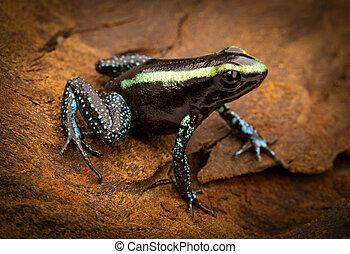exotique,  poison, grenouille