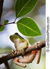 tropical, árbol, rana