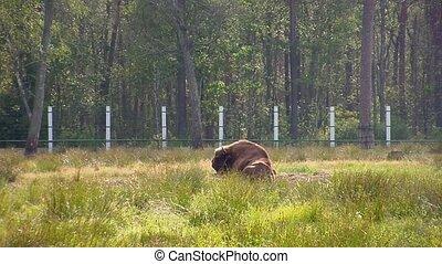 European bison. (aurochs) (Bison bo
