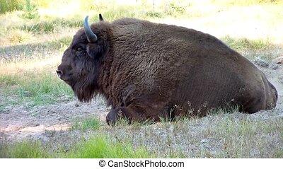 European bison. (aurochs) (Bison bonasus)