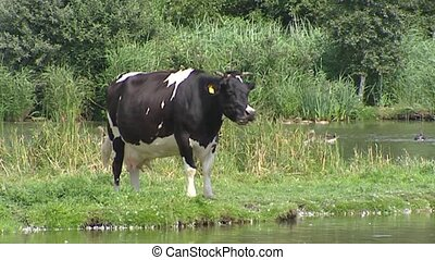Black Holstein cow in typically Dutch peatbog landscape,...