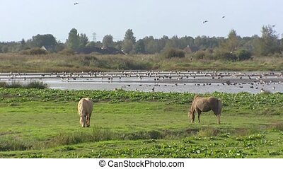 Horses graze in Dutch peat bog landscape. Greylag geese in...