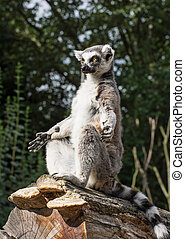One Ring-tailed lemur (Lemur catta) is heated - Ring-tailed...