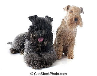 kerry blue and lakeland terrier - kerry blue terrier and...