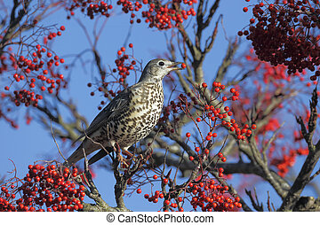 Mistle thrush, Turdus viscivorus, single bird on berries,...