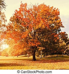 maple tree in autumn with sunlight orange color