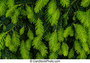 Yew Tips - Bright green growing tips on Yew shrub