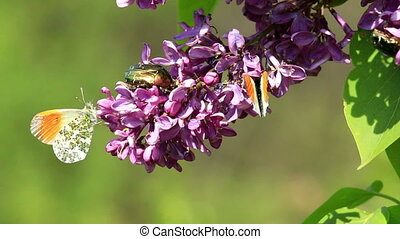 Insects sucking nectar in a flowers from common lilac bush