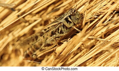 Closeup of cricket on hay bale.