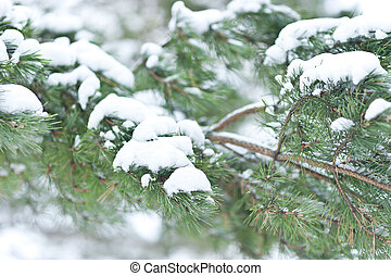 fur tree branch with snow.