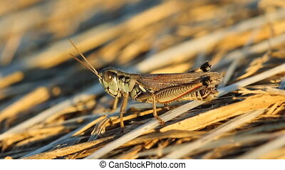 Closeup of cricket on hay bale - Macro shot of cricket on...