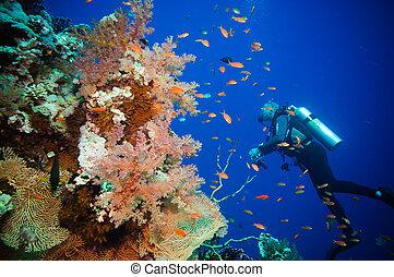 escafandra autónoma, buzo, tropical, pez, y, coral,...