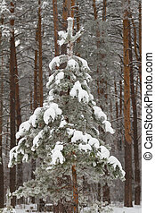 Fir tree in the winter forest