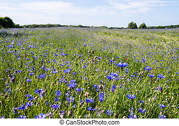 cornflower on a field in summer time