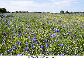 cornflower on a field in summer time