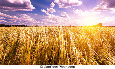 sunset on barley field in early summer