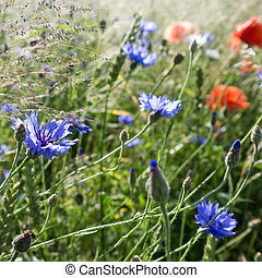 poppy and cornflower near a field in summer