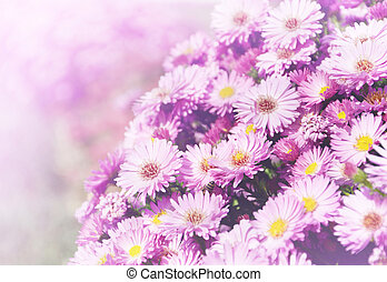 Small garden Astra flowers. Group of Alpine asters (Aster...