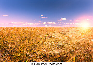 sunset and corn fiel (barley) in summer time