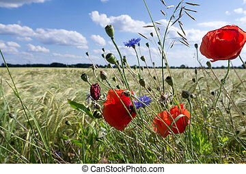 field flowers in summer - field flowers and poppy near a...