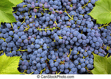 blue grapes background