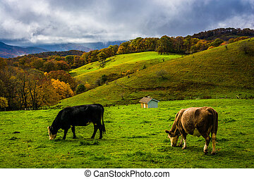 Cows in a field at Moses Cone Park, on the Blue Ridge...