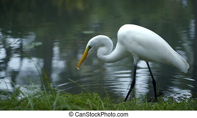 Great Egret standing in the water and eating - Beautiful...