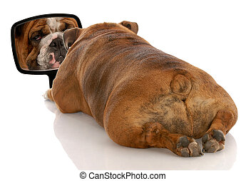 beauty is skin deep - english bulldog looking at herself in...
