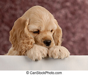 american cocker spaniel puppy with paws over white...