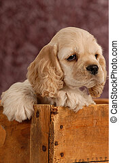 american cocker spaniel puppy with in a wooden box