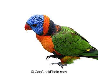 Single Lorikeet Bird
