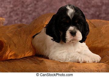 american cocker spaniel puppy hiding under brown blanket