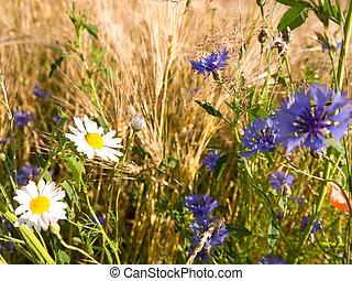 camomile, cornflower, barley near a field in summer